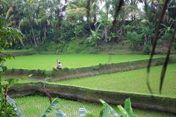 Rice Terraces of Bali