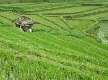 Sawah (Rice Fields)